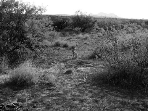 Desert Jack Rabbit
